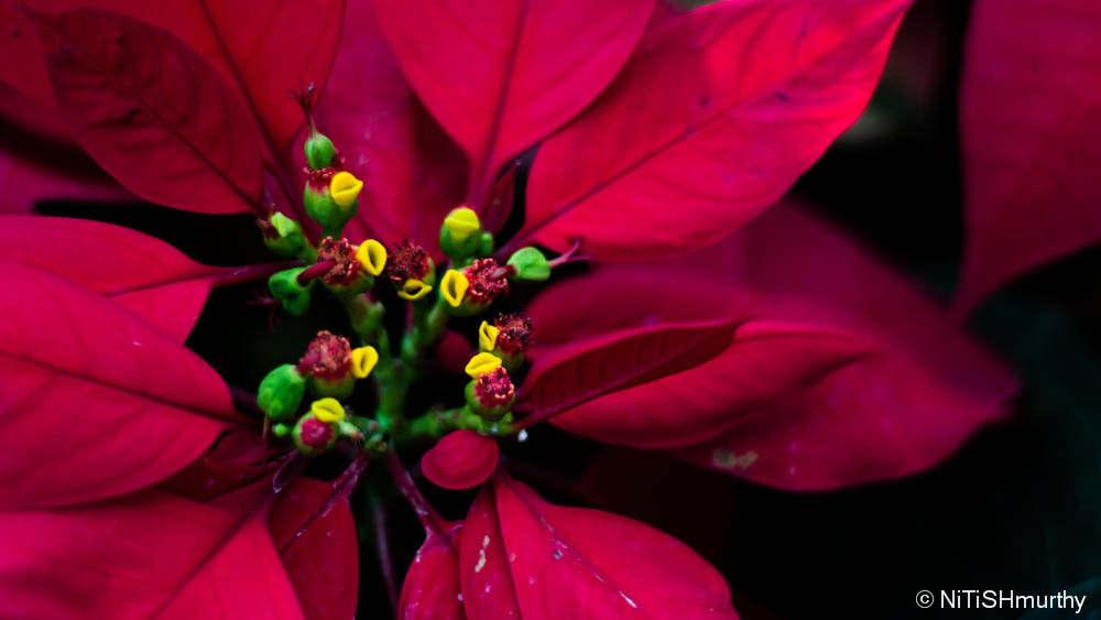 Photograph Poinsettia by Nitish Murthy on 500px