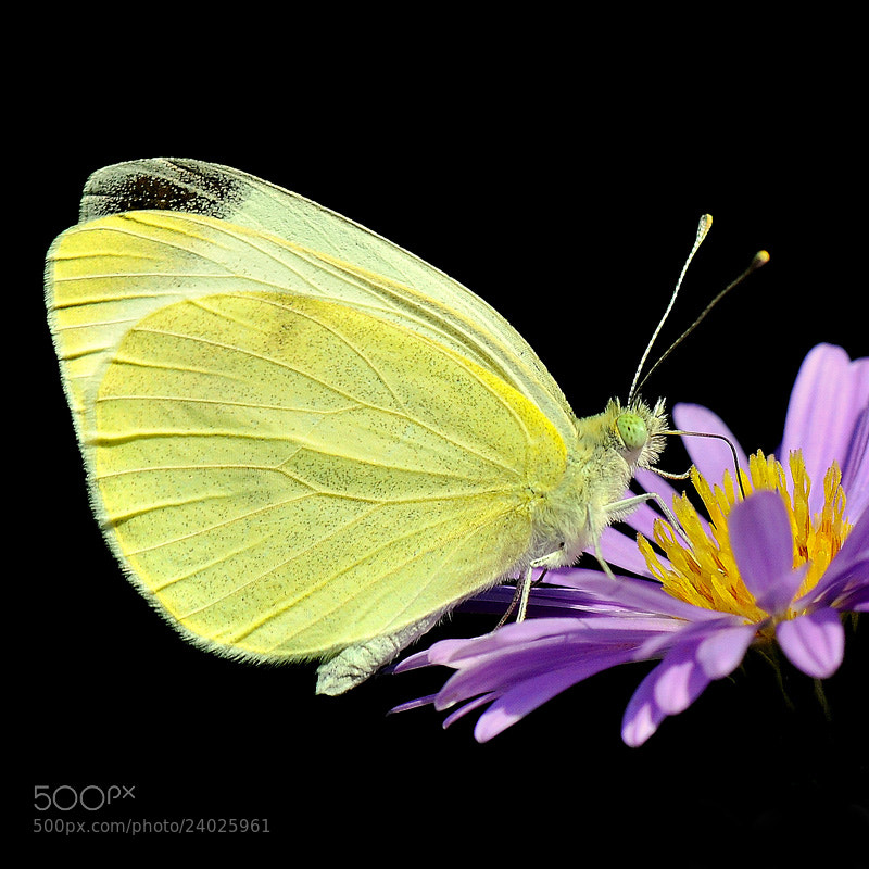 Photograph Pieris brassicae  by Franco Mottironi on 500px