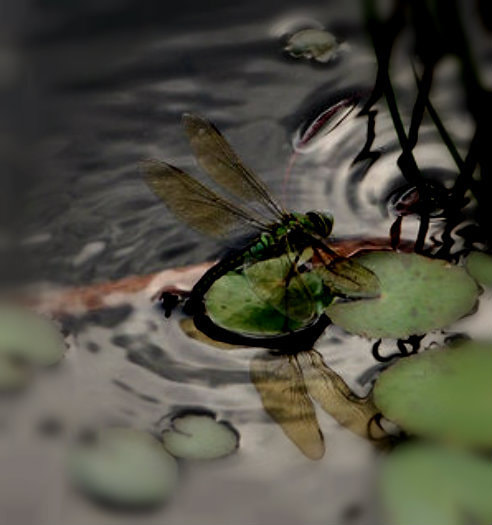 Photograph dragonfly  by Shirley Tucker on 500px