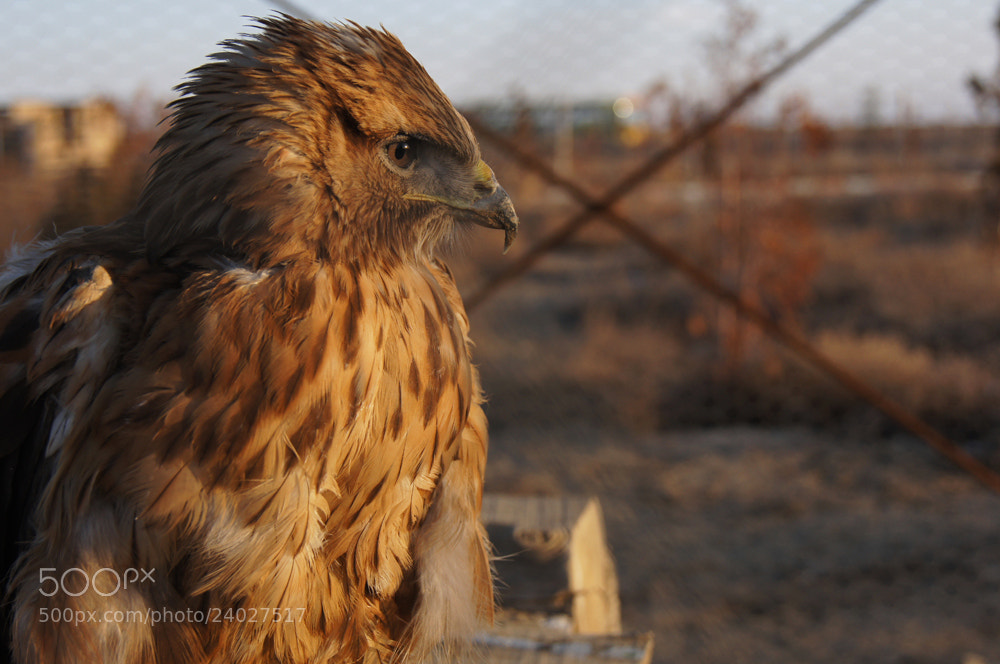 Photograph little hawk by mohammad zia on 500px
