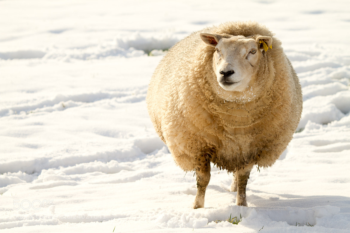 Photograph sheep in winter by Erwin Bon on 500px