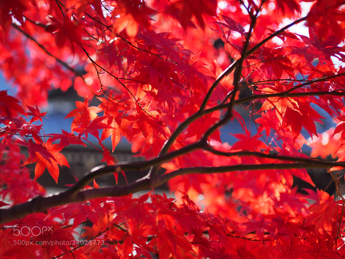 Photograph Autumn leaves by Midori Takahashi on 500px