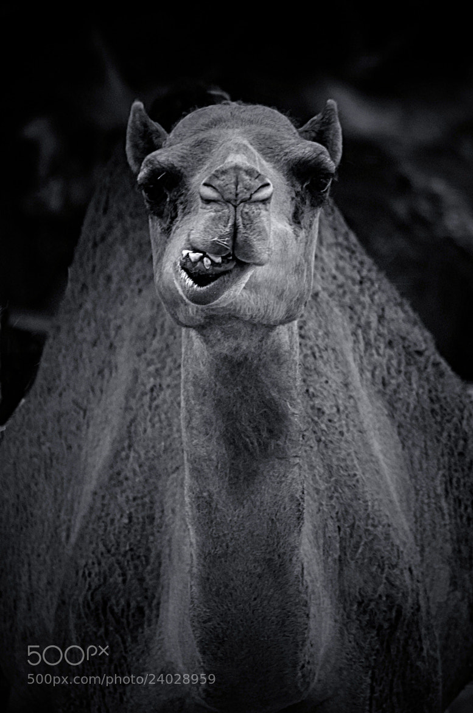 Photograph Camel by Valentina Sargsyan on 500px