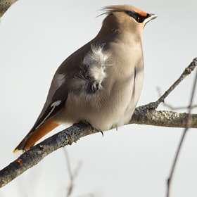 Waxwing in the Wind by Rob Smith (rgordonsmith)) on 500px.com