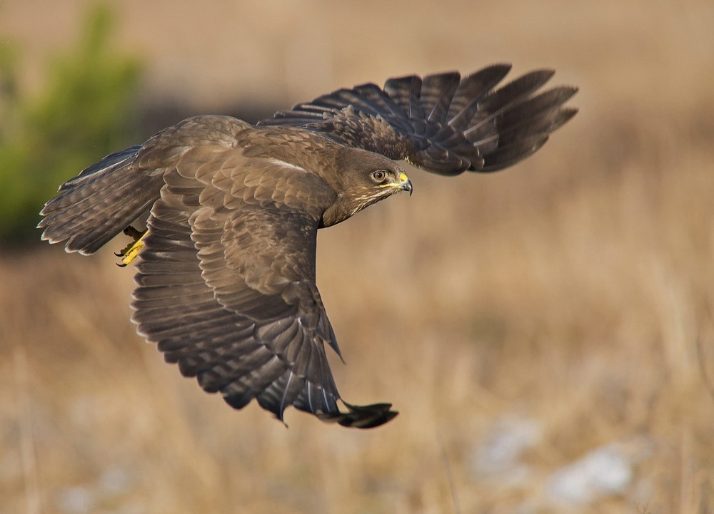 Photograph Buzzard by Svein Ove Linde on 500px