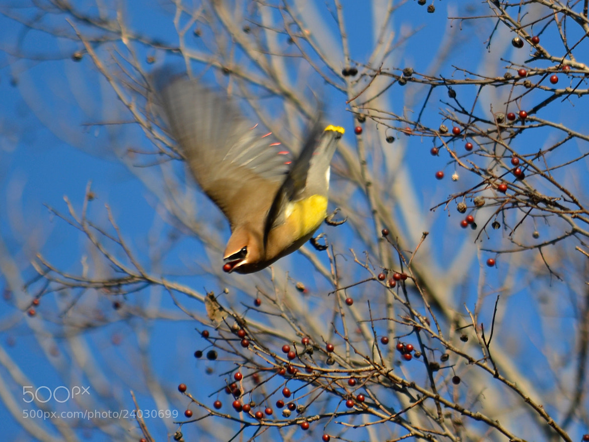 Photograph Cedar Waxwing In Flight With Berry by Steven Bach on 500px