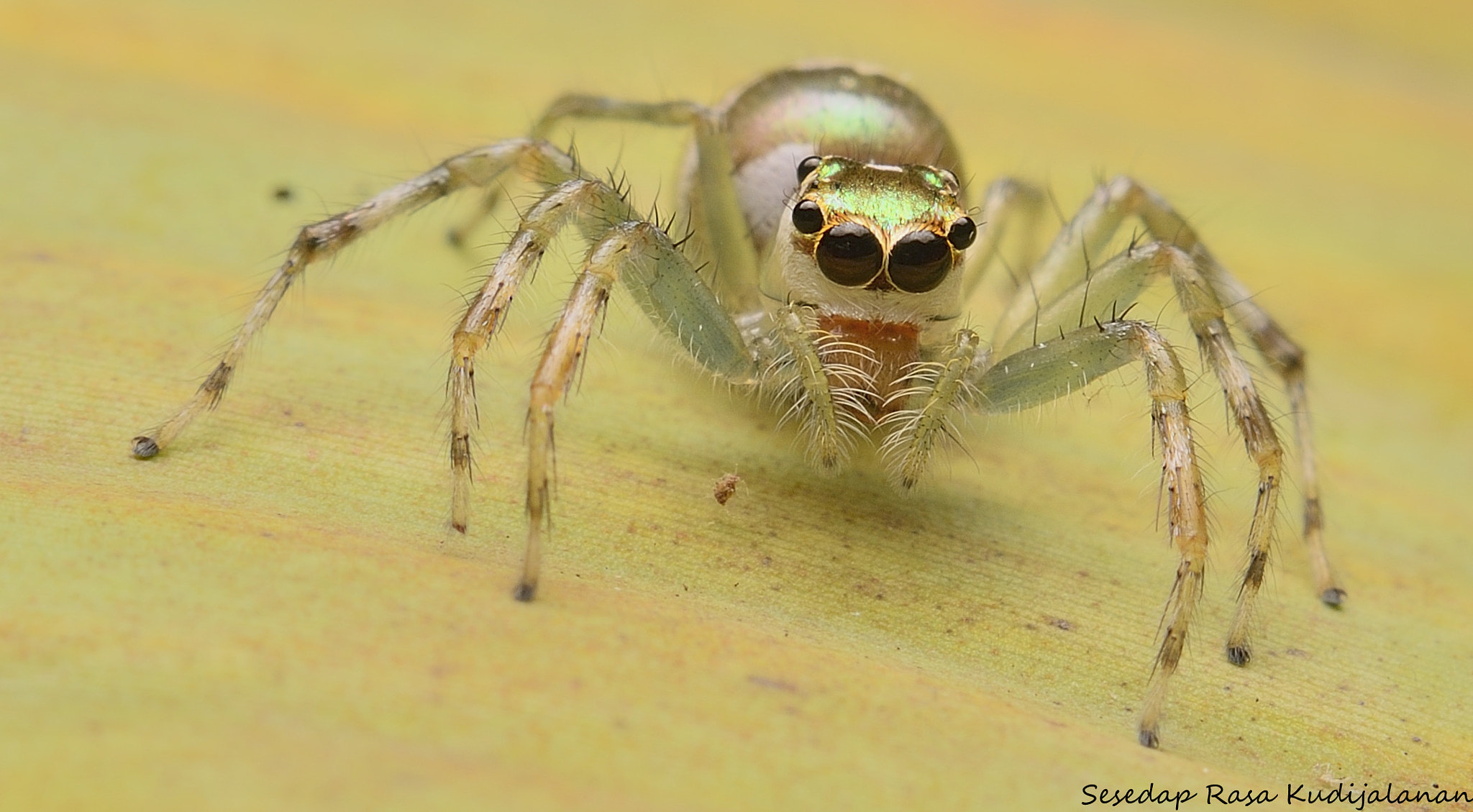 Photograph Jumper Spider by Sesedap Rasa Kudijalanan on 500px