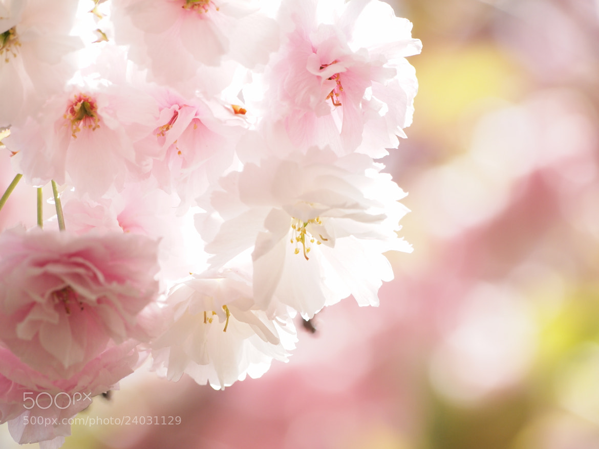Photograph double cherry-blossoms by Midori Takahashi on 500px