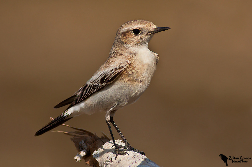 Photograph Desert Wheatear (Oenanthe deserti) by Zoltan Kovacs on 500px