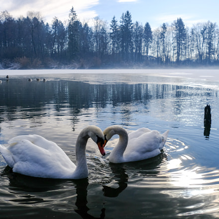 Swans in frozen lake