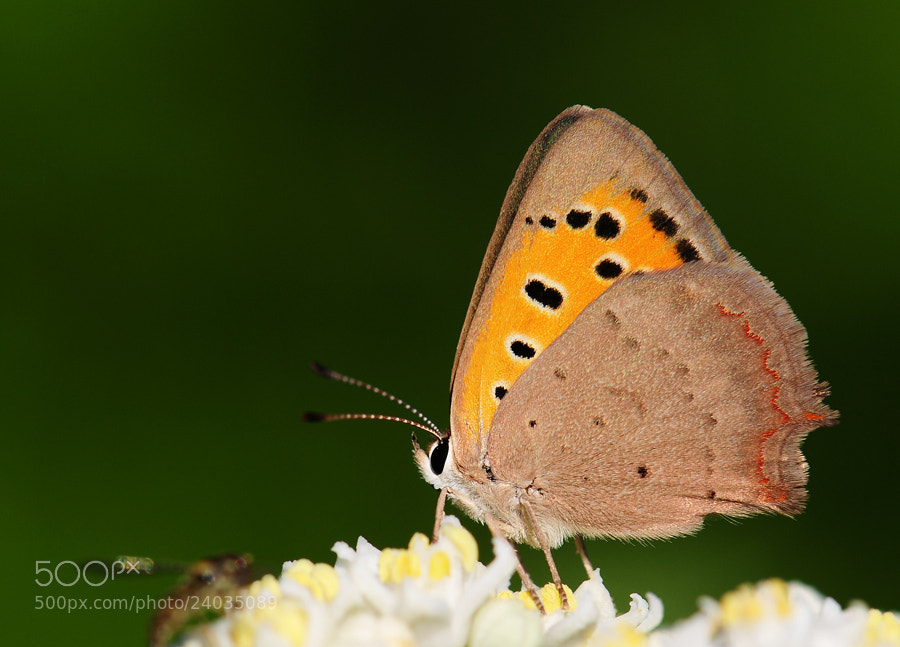Photograph Benekli Bakır (small copper) by Adem Yağız on 500px