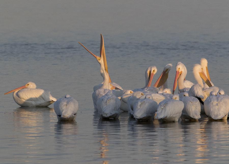 white pelicans northshore-2