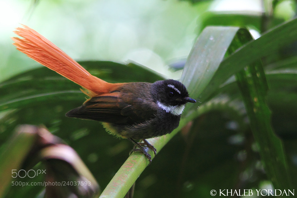 Photograph Rufous-tailed Fantail by Khaleb Yordan on 500px