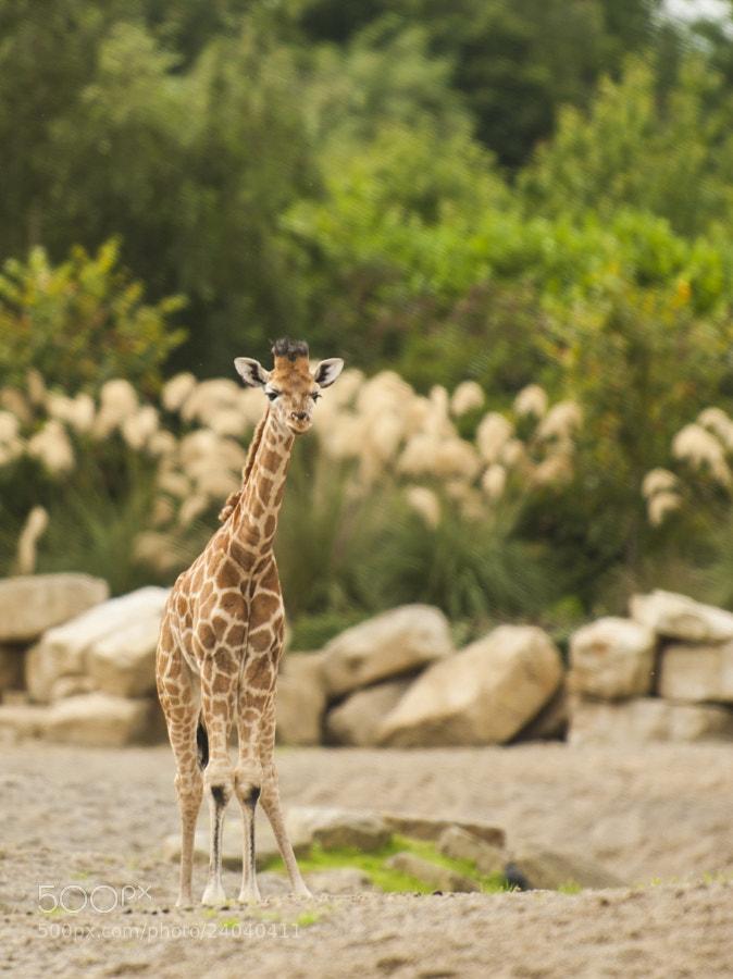 Photograph Baby Giraffe by Misa Maric on 500px