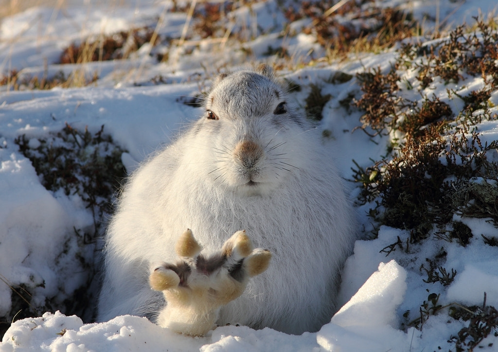 """Photograph """"High 5"""" Scottish Mountain Hare (Lepus timidus scoticus) by Andy Howard on 500px"""