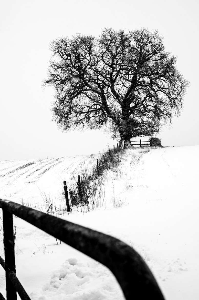 Photograph Frosted lone oak by steve davies on 500px