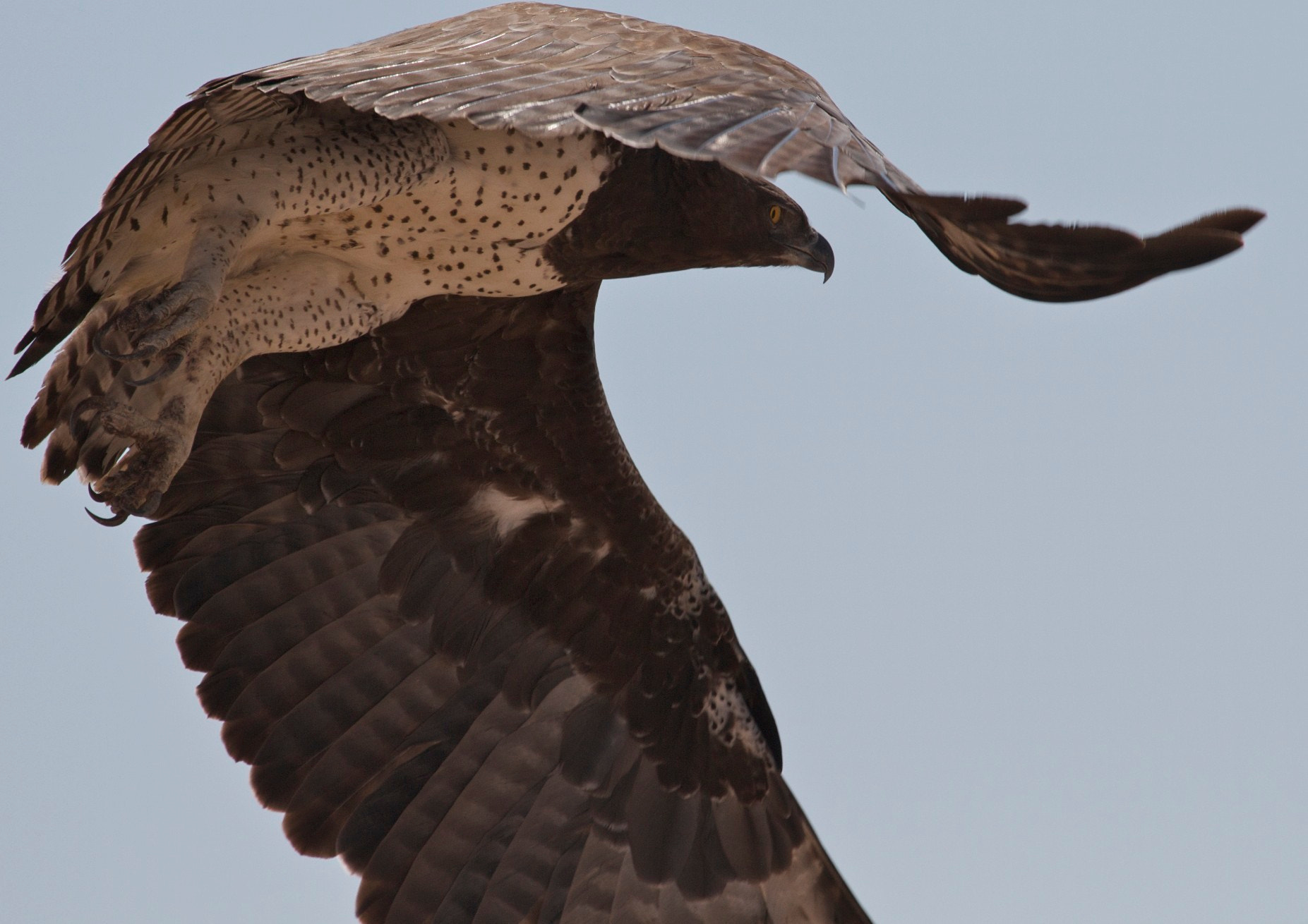 Photograph Martial Eagle in flight by Steven Mornout on 500px