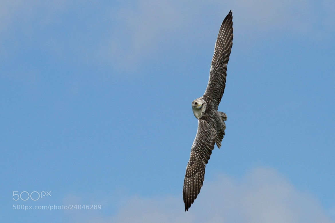 Photograph Gyrfalcon in flight by Steven Mornout on 500px