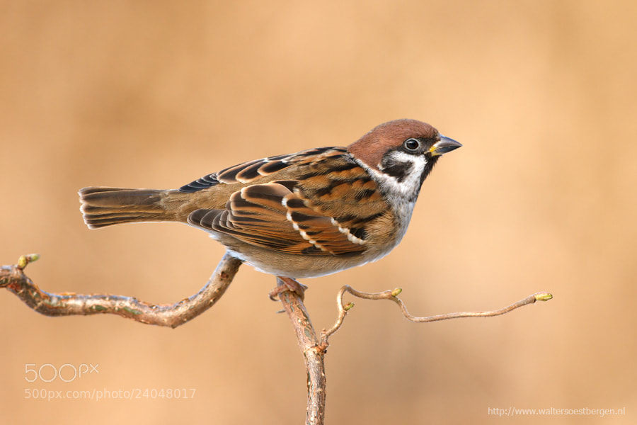 Photograph Treesparrow by Walter Soestbergen on 500px