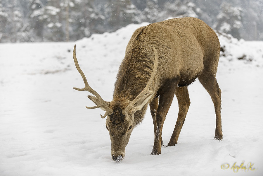 Searching food through snow