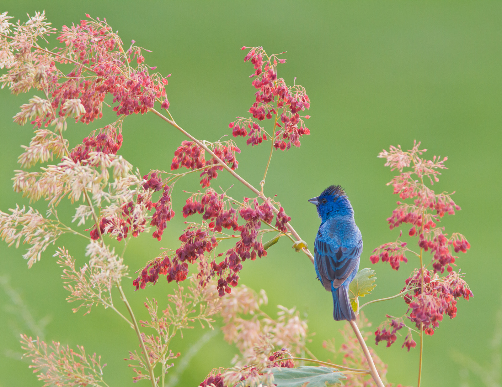 Photograph Indigo Bunting by Jorge Barrera on 500px