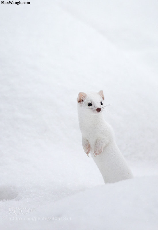 Photograph Yellowstone Ermine by Max Waugh on 500px