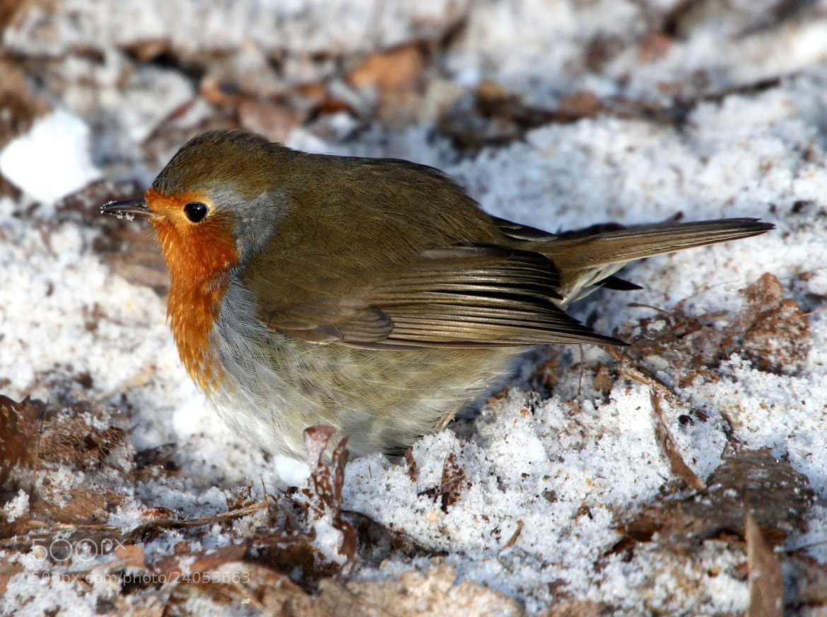 Photograph Winter Robin by Ger Bosma on 500px