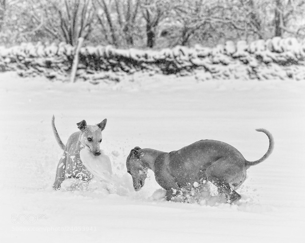 Photograph Snow Doggy Da-owags by Hot Dog Photography on 500px