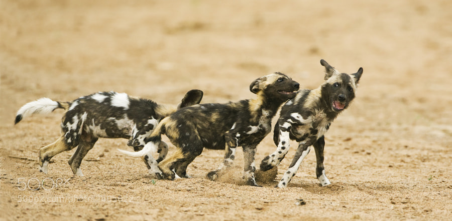 These pups are running across the dried up Limpopo River, 20th September 2008