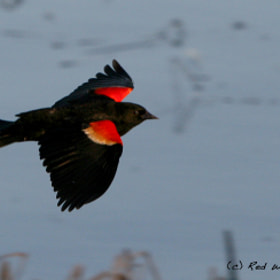 Red Winged Blackbird by Lee Doughty (sunsetchloe)) on 500px.com