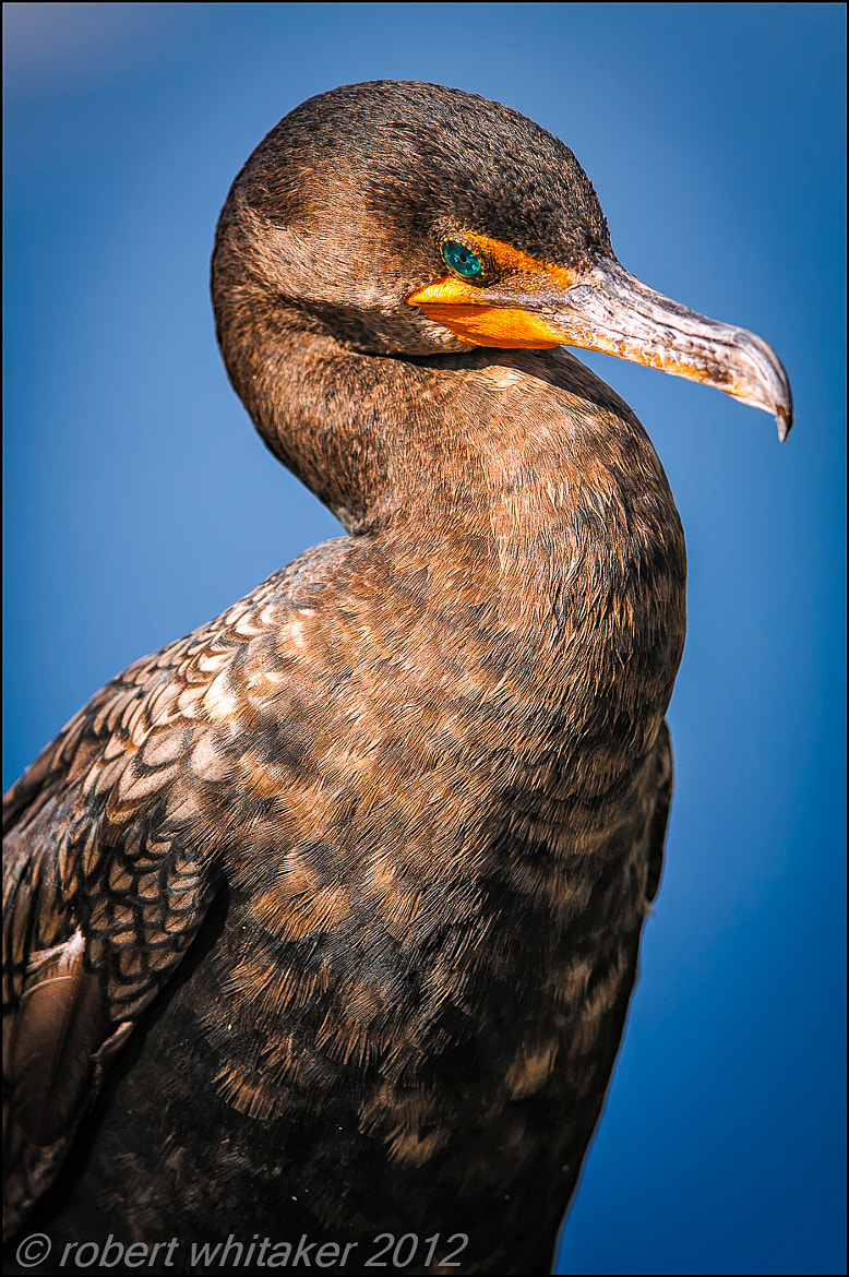 Photograph Cormorant Double Creasted by Robert Whitaker on 500px