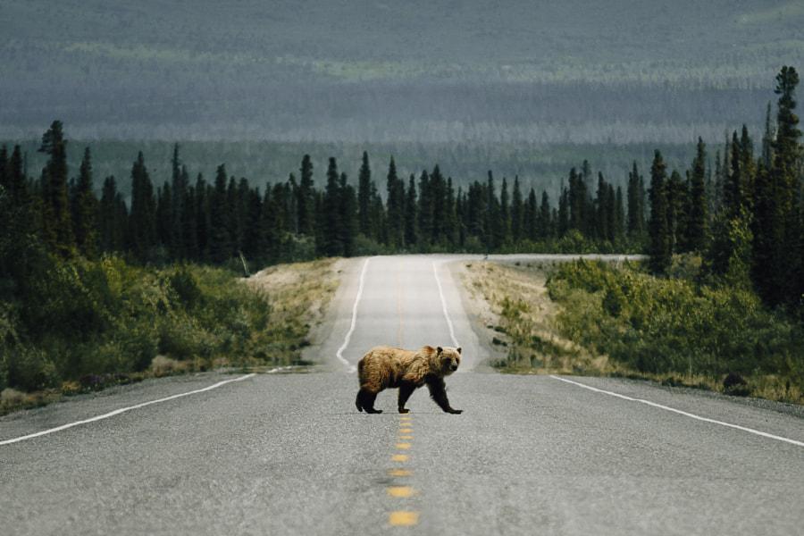 Bear Crossing. by Johannes Höhn on 500px.com