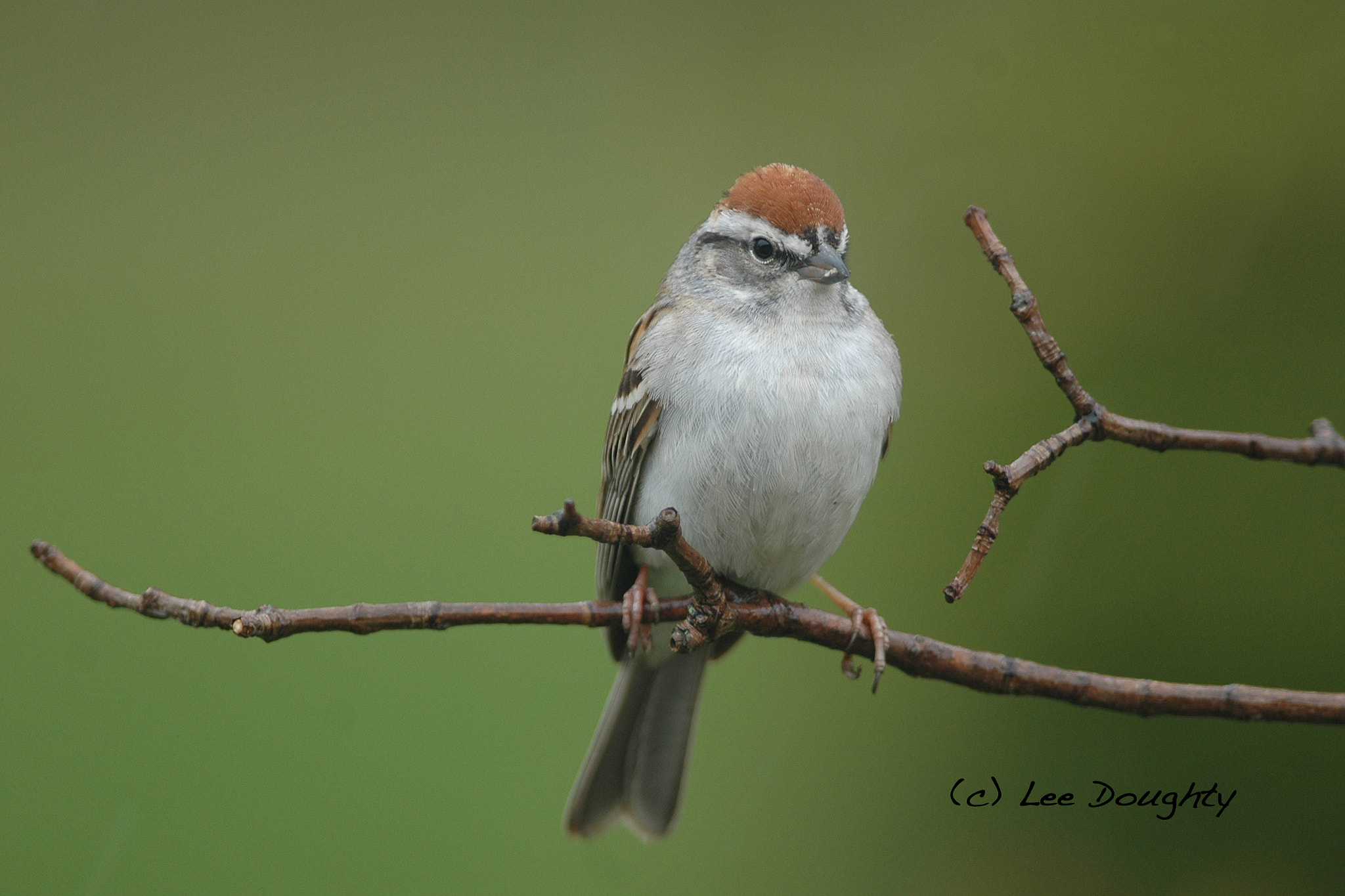 Photograph Chipping Sparrow by Lee Doughty on 500px