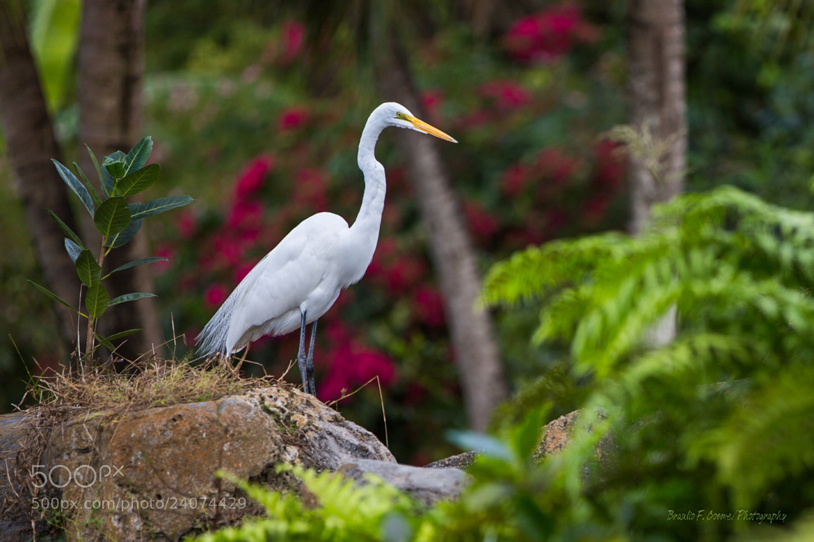 Photograph Great Egret by Braulio Cosme on 500px