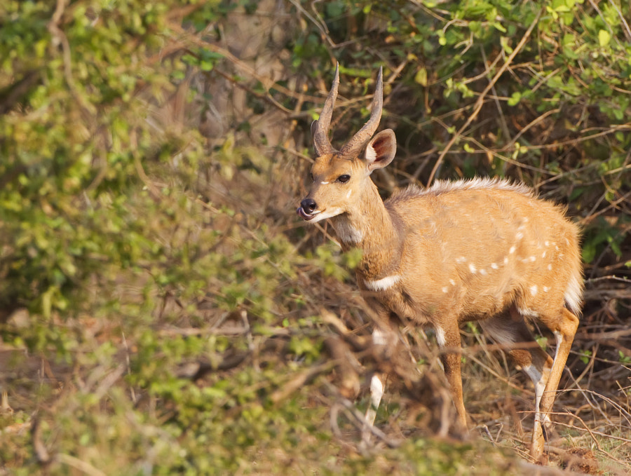 "as it name suggests this antelope lives in the bush, and is raely seen in the ""open"". I was happy to find this one on Rhino Island, Matusadona National Park, Zimbabwe, 17th September 2011"