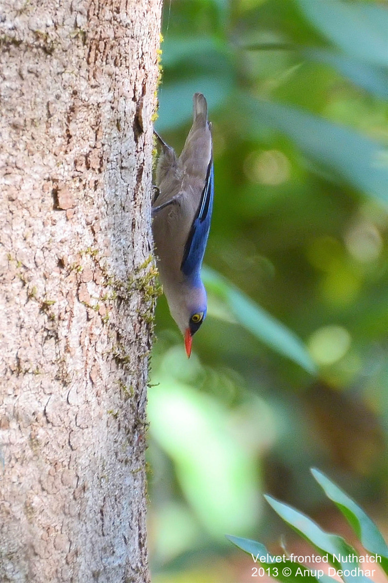 Photograph Velvet-fronted Nuthatch by Anup Deodhar on 500px