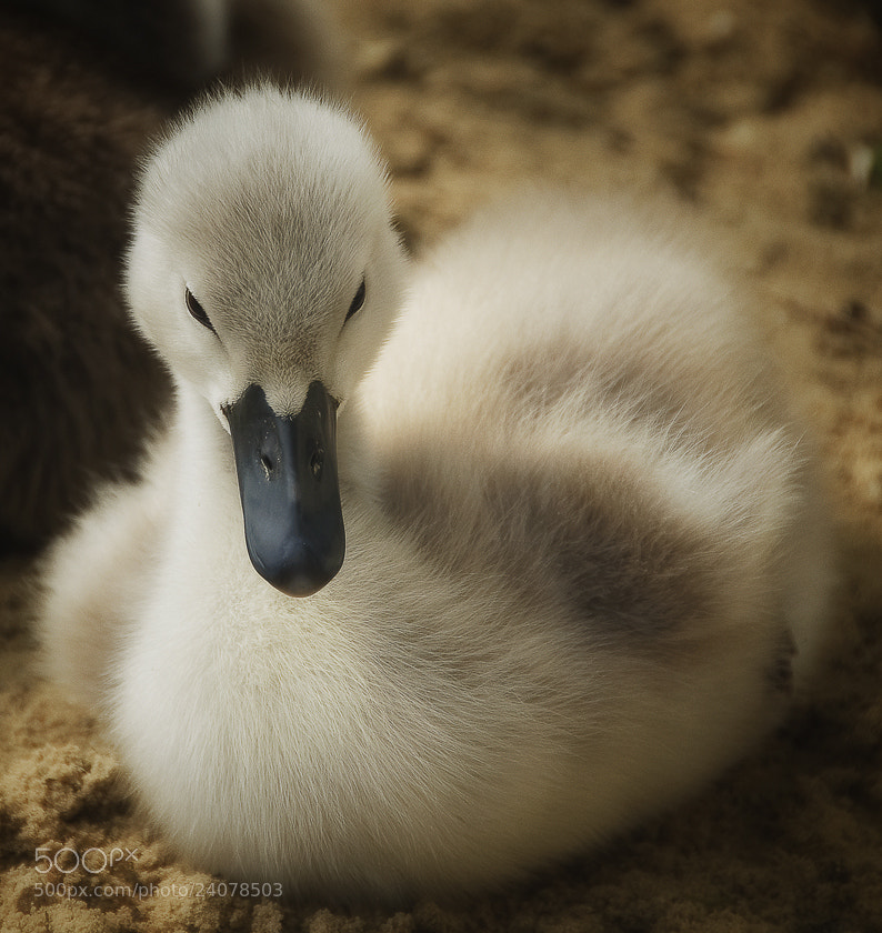 Photograph the ugly duckling (el patito feo) by Rudi Moerkl on 500px