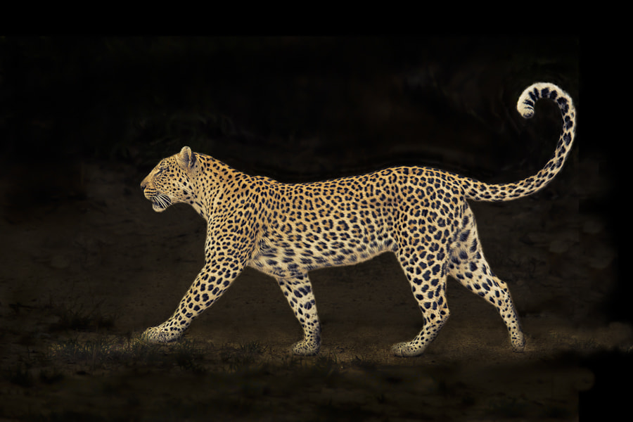 Photograph Leopard Walk by Mario Moreno on 500px