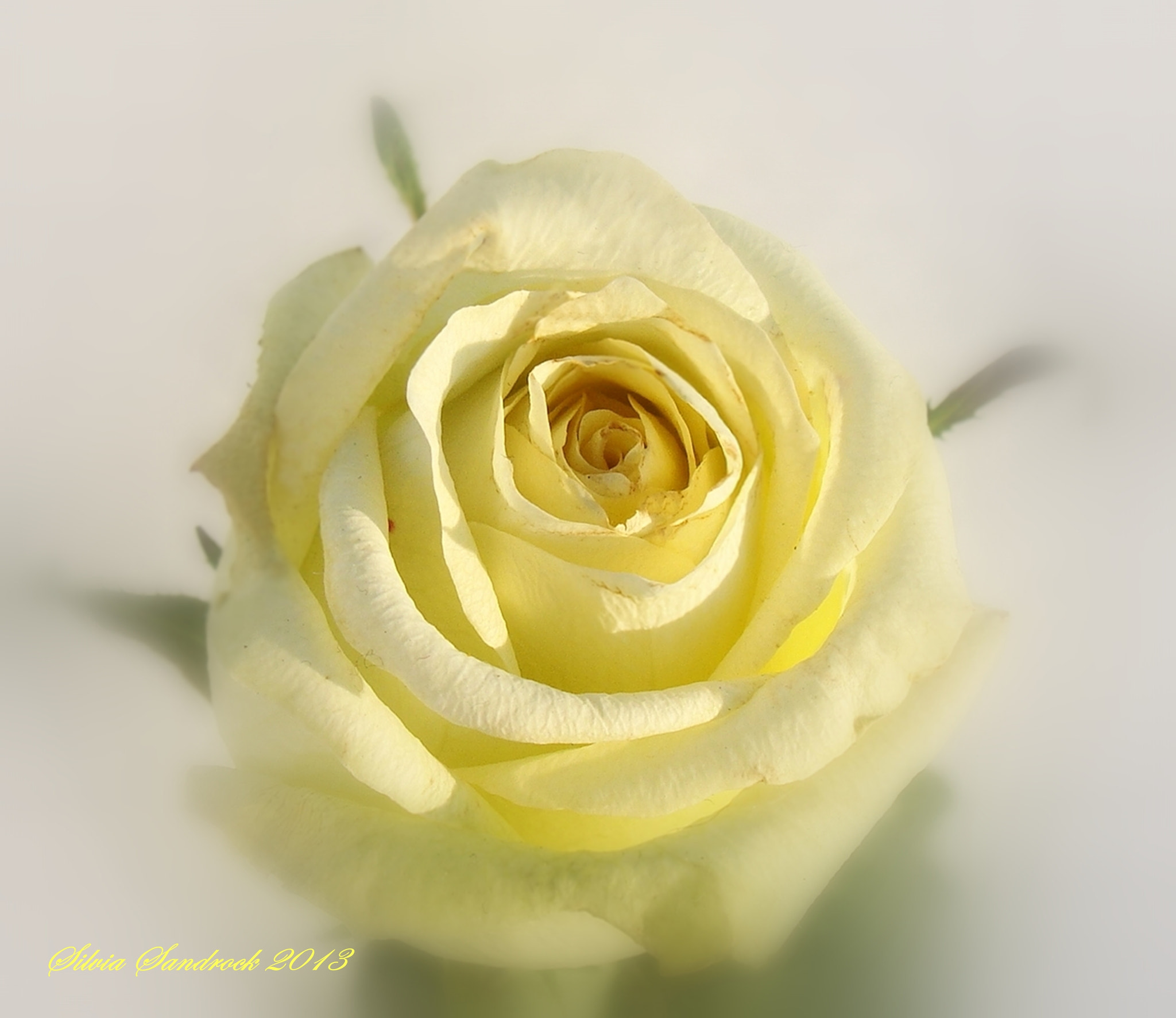 Photograph Pale Yellow Rose on Snow II..... by Silvia Sandrock on 500px