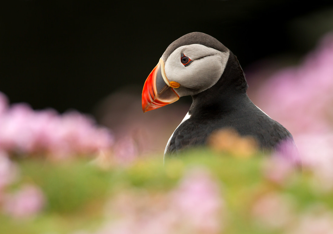 Photograph Puffin in Thrift by Dalia Kvedaraite on 500px