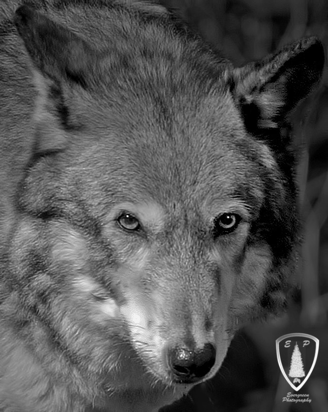 Photograph WOLFHEAD_BW by Evergreen Photography on 500px