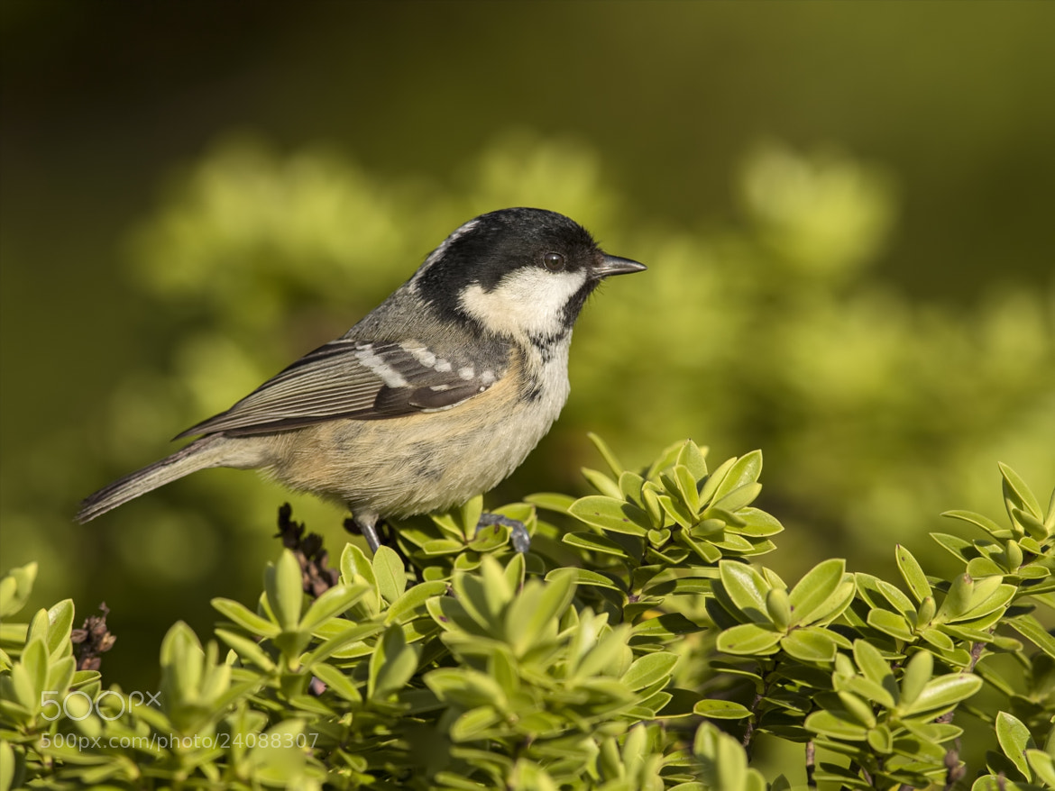 Photograph January Coal Tit by Sylvia Fresson on 500px