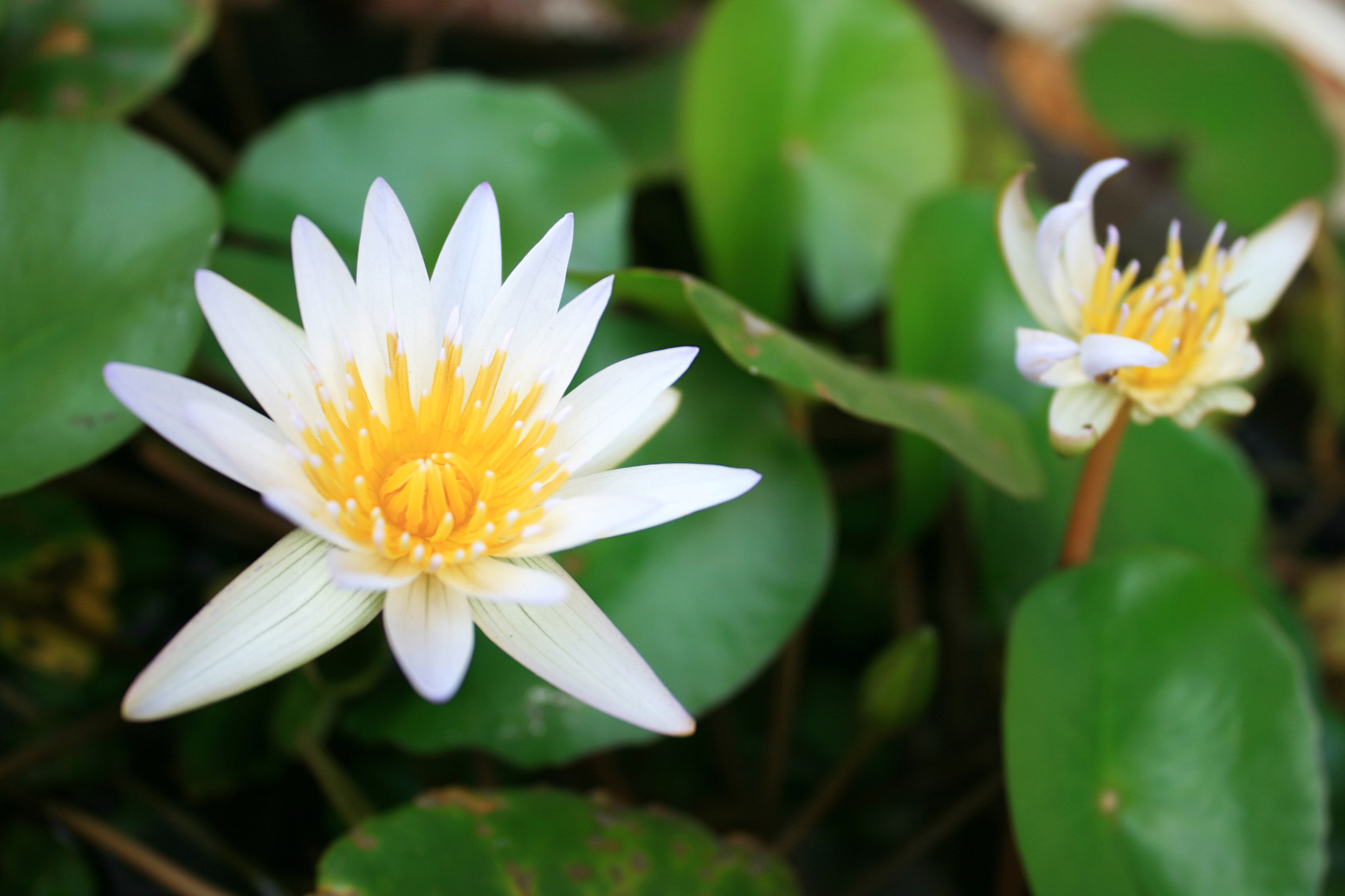 Photograph White Water Lily 2011A by Beng Lim on 500px