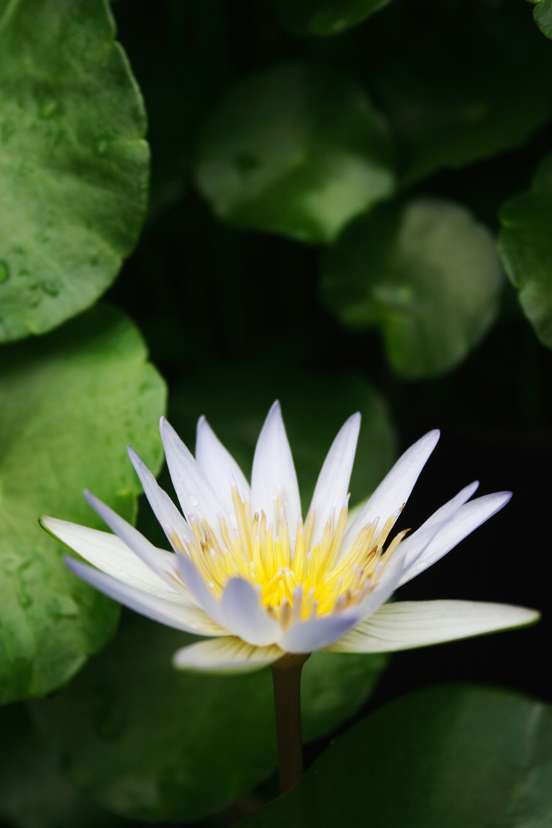 Photograph White Water Lily by Beng Lim on 500px