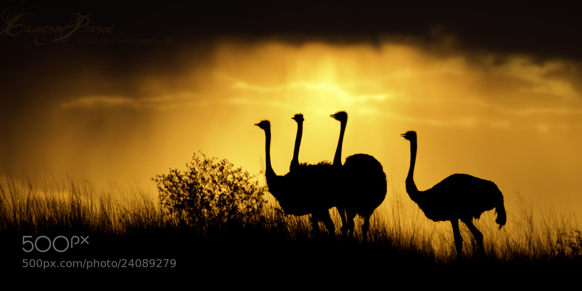 Photograph Ostriches Only by Cameron Pearce on 500px
