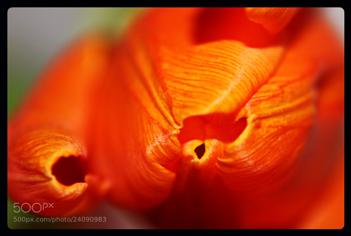 Photograph Tulip by Hiwa  on 500px