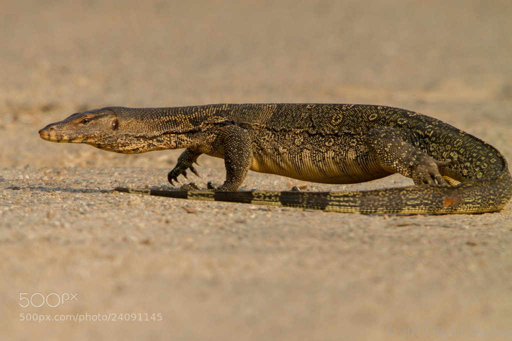 Photograph Water Monitor by Ron E Racine on 500px