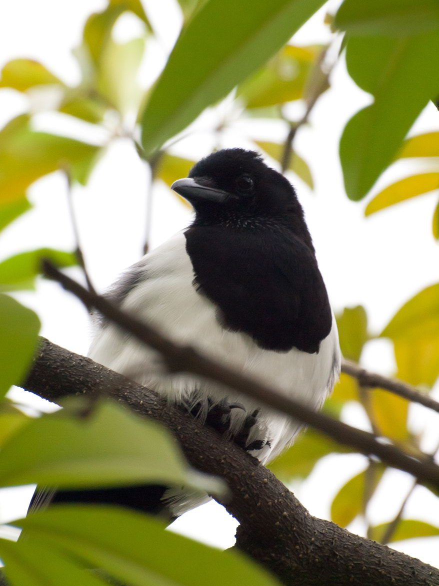 Photograph Magpie by William Lo on 500px