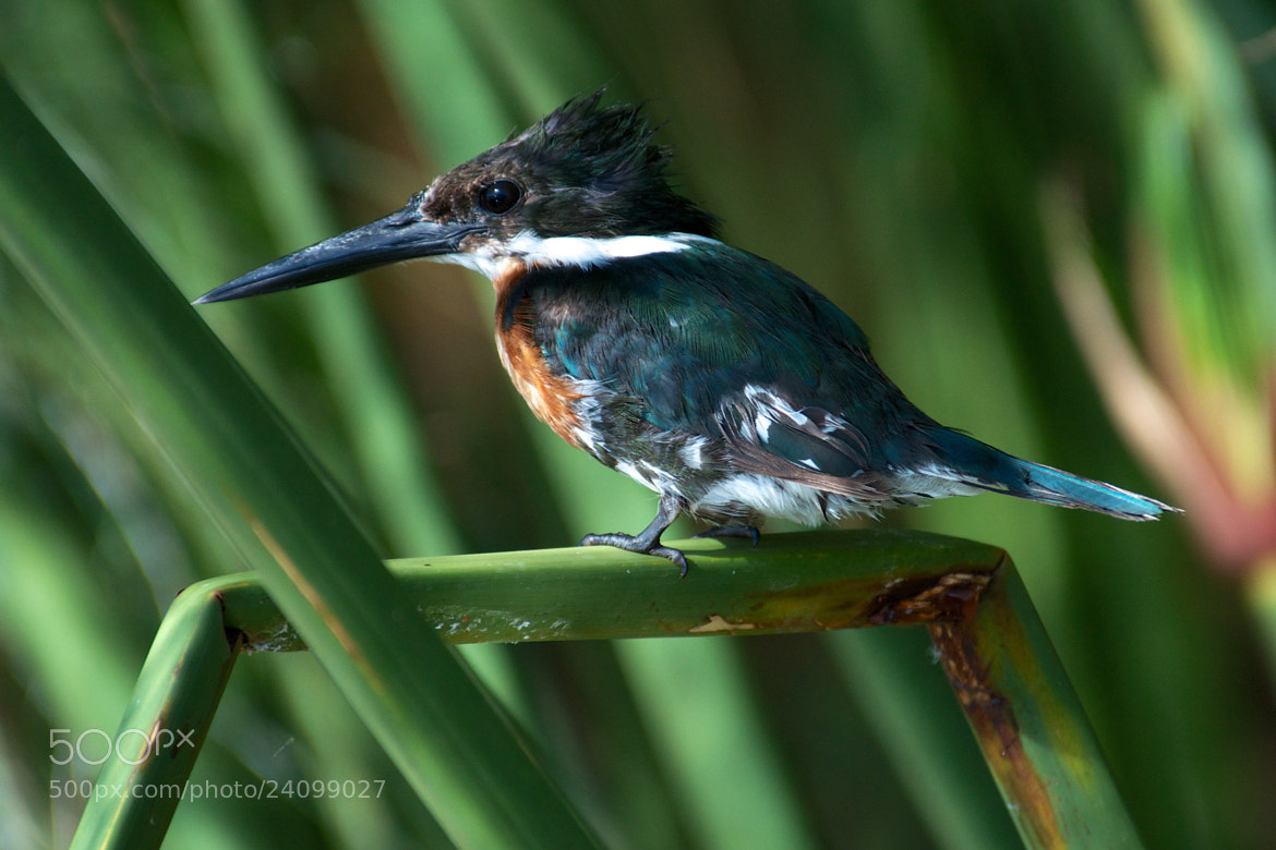 Photograph Male Kingfisher by Remco Douma on 500px