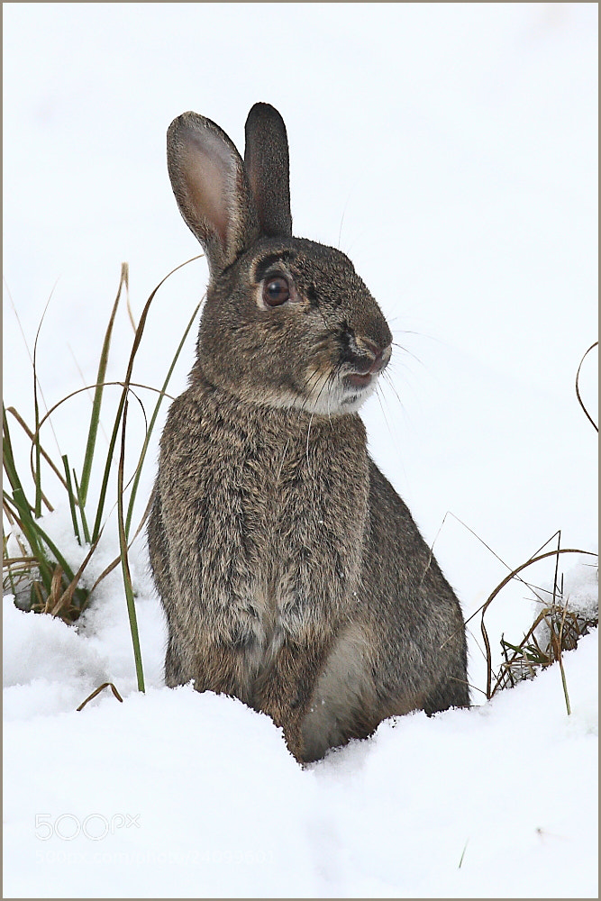 Photograph RABBIT by colin beeley on 500px